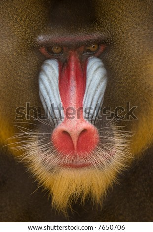 Detail of Mandrill - Colorful Face and Fur - stock photo