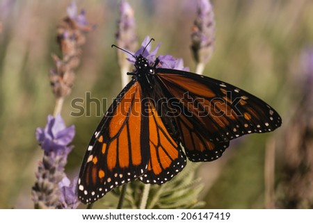 detail of Monarch butterfly on lavender flower - stock photo