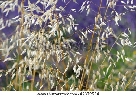 Detail of oat in a lavender field (Sault) - stock photo