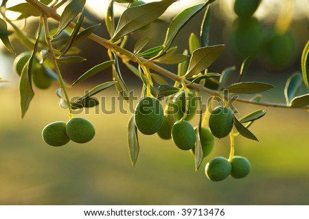 Detail of olive tree branch - stock photo