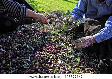 detail of people and olive harvest - stock photo