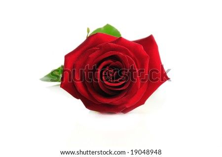Detail of perfect red rose isolated over white - stock photo