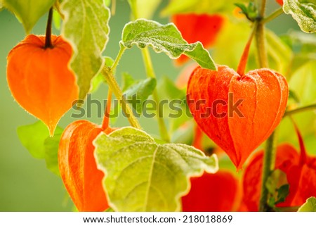 Detail of physalis in the garden. - stock photo