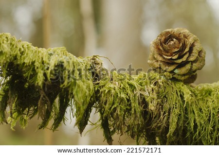Detail of pine cones growing on a tree - stock photo