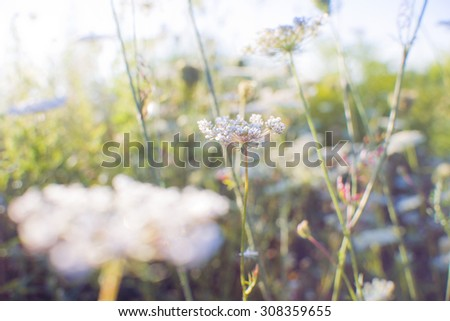 Detail of ragweed in a meadow with morning light, soft focus meditative background