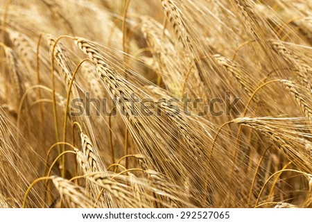 Detail of ripe Barley Spikes - stock photo