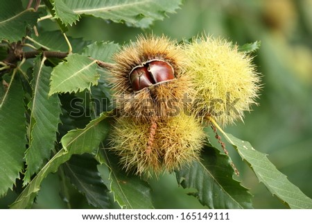detail of ripe chestnuts  - stock photo