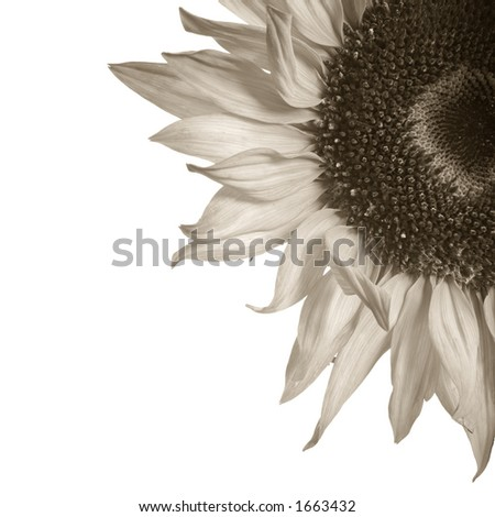 Detail of sepia toned sunflower isolated on white - stock photo