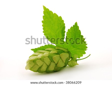 Detail of single hop cone and leaf - stock photo