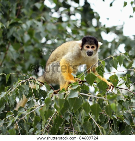 detail of squirrel monkey