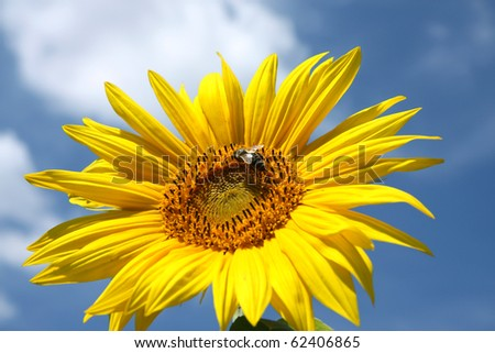 detail of sunflower blossom and bee - stock photo