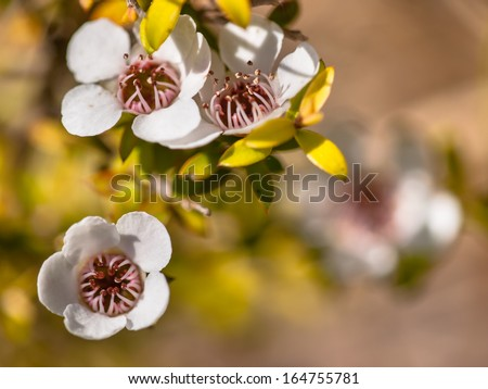 Detail of tea tree flower and seed boxes - stock photo