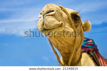 Detail of the camel head on blue sky background - stock photo