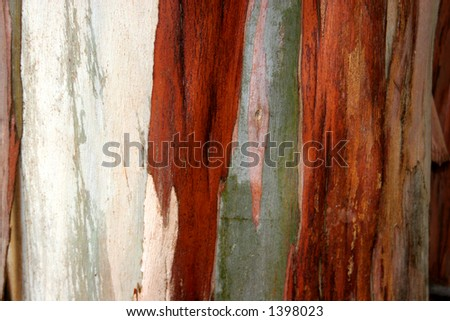 detail of the crust of a eucalyptus - stock photo