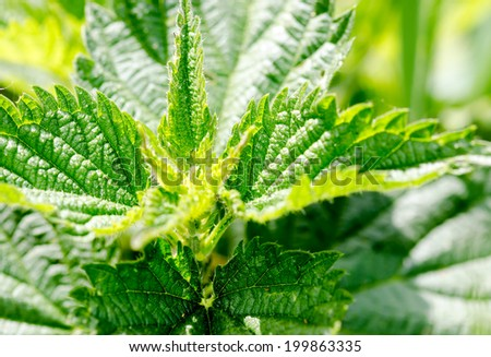 Detail of the foliage of a stinging nettle plant. - stock photo