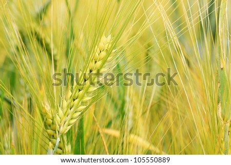 Detail of the gold green Barley Spike - stock photo