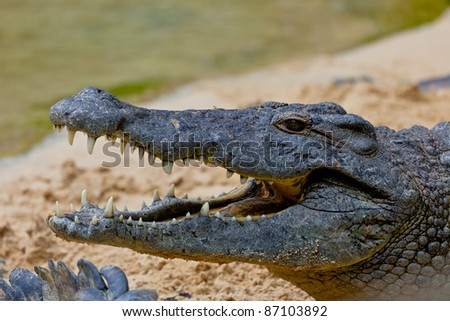 Detail of the head of a nile crocodile, Crocodylus niloticus