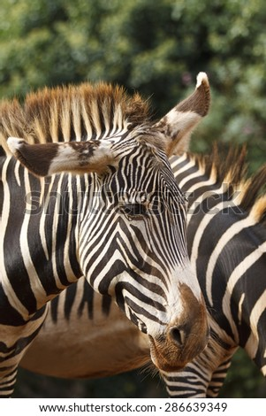 Detail of the head of a wild zebra.