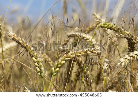Detail of the Wheat Spike in the Nature - stock photo