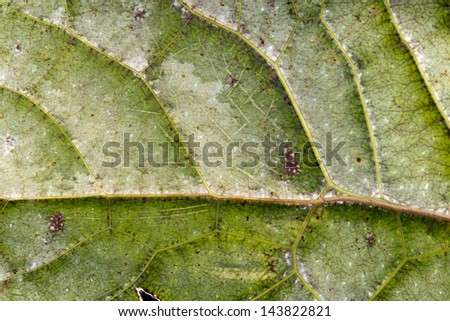 Detail of the wing of a leaf mimic katydid from the Ecuadorian Amazon. - stock photo
