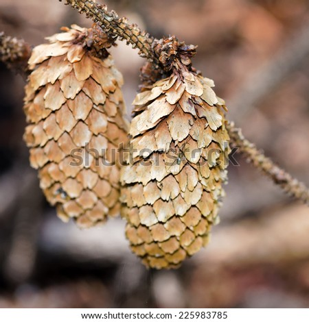 Detail of two ripe fir cones. - stock photo