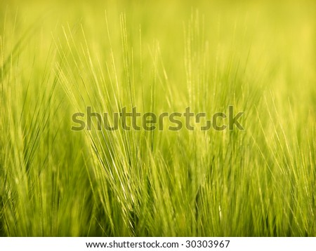 Detail of wheat - stock photo