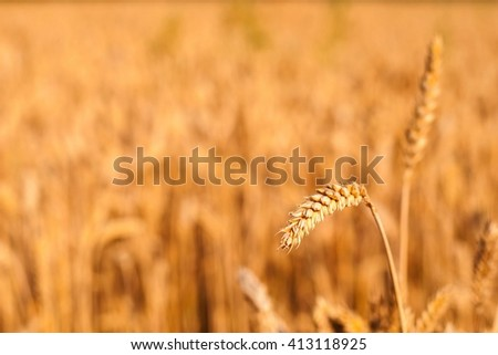Detail of wheat spike ready to be harvested with blurred wheat field in background. Selective focus. Space on left side - stock photo