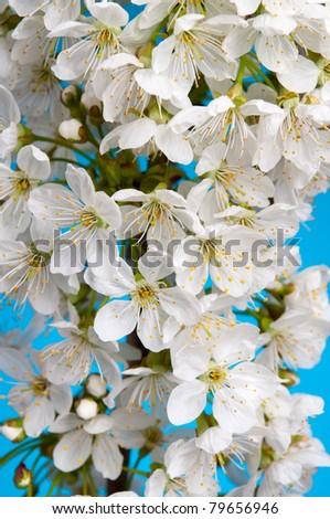 Detail of white cherry blossom - stock photo