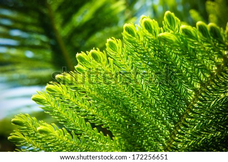 Detail of Wollemia nobilis, Wollemi pine tree, is a genus of coniferous tree in the family Araucariaceae  - stock photo