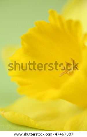 Detail of yellow daffodil on green background. Shallow dof - stock photo