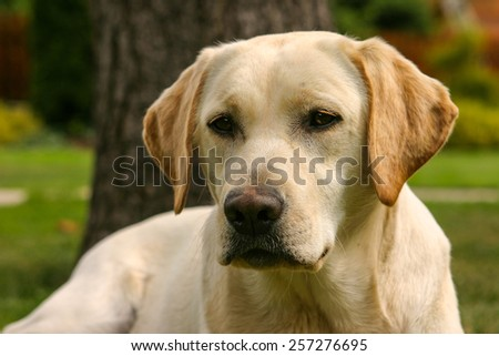 Detail of yellow Labrador dog in the spring garden - stock photo