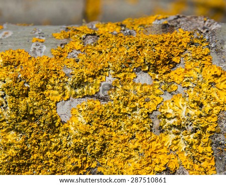 Detail of yellow lichen covering the bark of a poplar  - stock photo