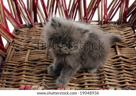 Detail of young persian cat inside a basket - stock photo