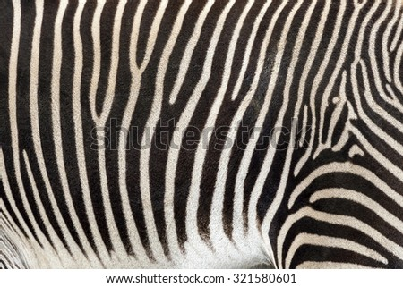 Detail of zebra body
