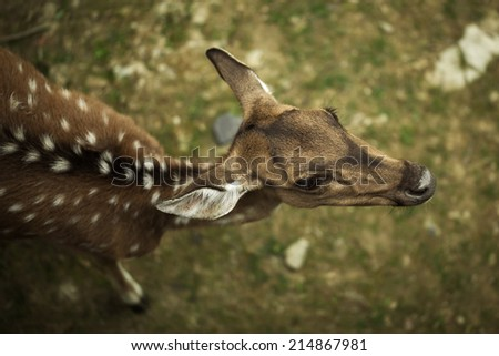 Detail on staring doe viewed from above - stock photo