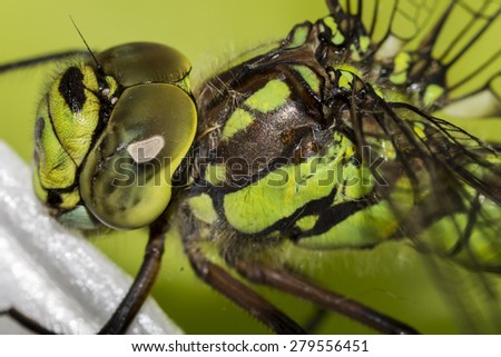 Detail on the Ophiogomphus cecilia. Green Snaketail dragonfly - stock photo