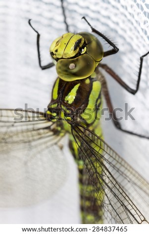 Detail on the Ophiogomphus cecilia, Green Snaketail dragonfly