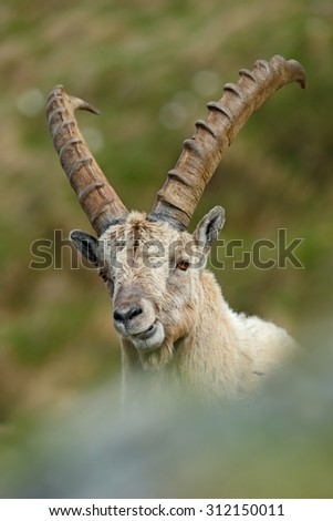 Detail portrait of antler Alpine Ibex, Capra ibex, with rocks in background, National Park Gran Paradiso, Italy  - stock photo
