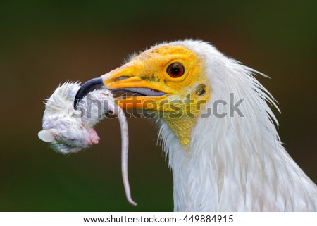 Detail portrait of bird of prey with catch, little mouse. Egyptian Vulture, Neophron percnopterus, with kill mouse. White head portrait with mouse in the bill. Bird in nature habitat. Face portrait - stock photo