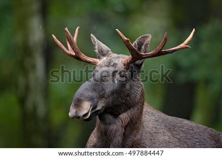 moose in sweden | Moose / Eurasian elk Alces alces in the taiga in ...