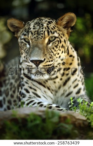 Detail portrait of wild cat jaguar, Costa Rica  - stock photo