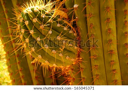 Detail, sharp, spiny cactus needles in late afternoon light, Boyce Thompson Arboretum State Park, Arizona  - stock photo