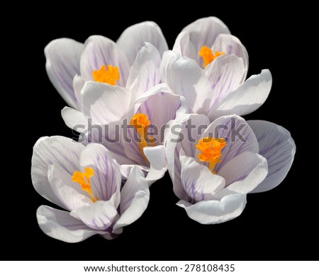 detail shot of a crocus flower in black back - stock photo