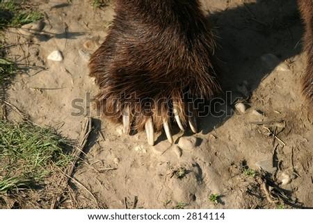 Detail shot of a kodiak bear claw - stock photo