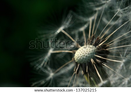Detail view of bald dandelion with dark green background - stock photo