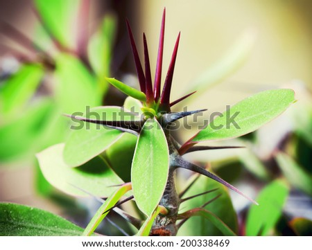 Detail view on the thorns of succulent. - stock photo