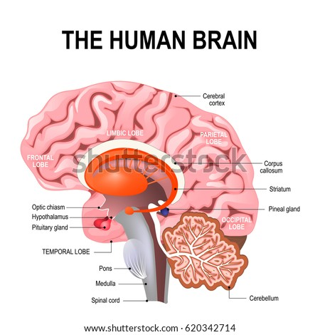 Detailed anatomy human brain illustration showing em ilustrao detailed anatomy of the human brain illustration showing the medulla pons cerebellum ccuart Choice Image