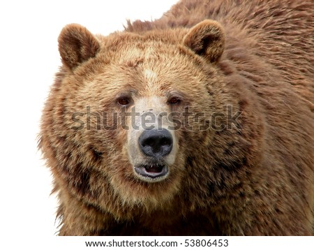 Detailed close-up portrait of a magnificent grizzly brown bear with texture of the fur showing. - stock photo
