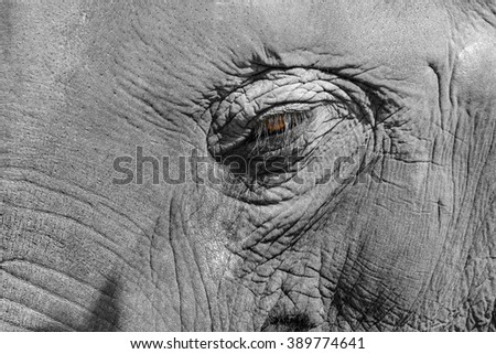 Detailed closeup of the eye of an intelligent old elephant