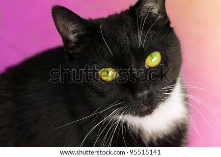 Detailed closeup portrait of a cute male black and white cat against bright pink background - stock photo